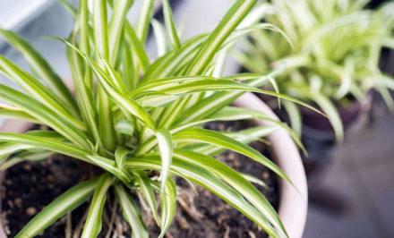 Plantes d'intérieur que vous ne pouvez pas tuer