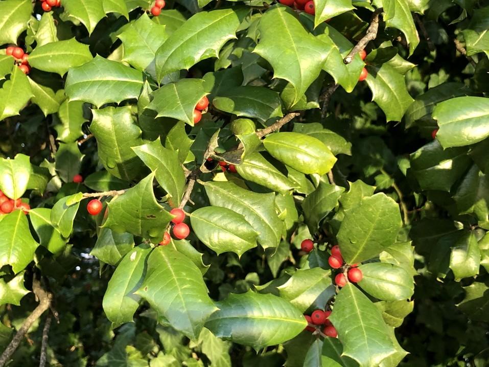 arbustes au feuillage persistant